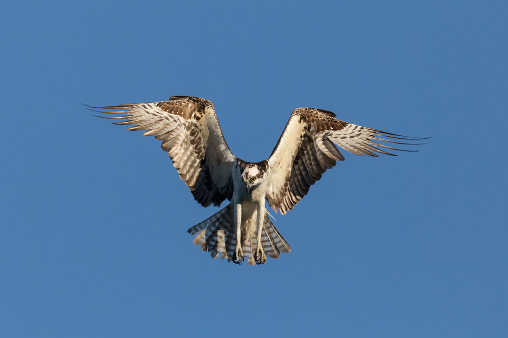 Photo: Osprey, by Tyler Hartje