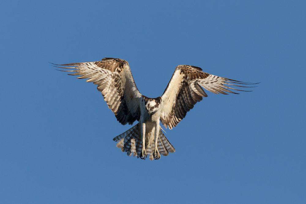Photo: Osprey, by Tyler Hartje