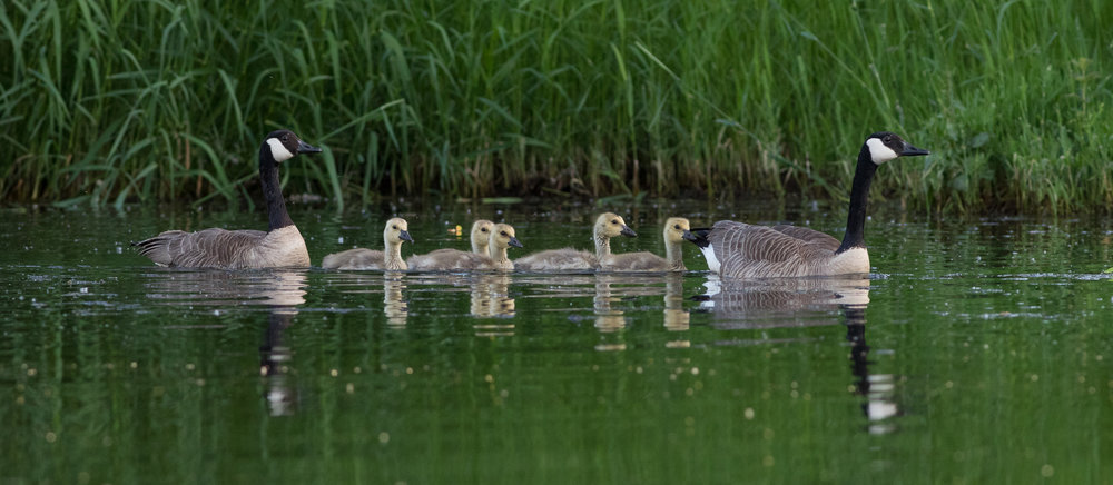 Photo: Goose family, by Tyler Hartje