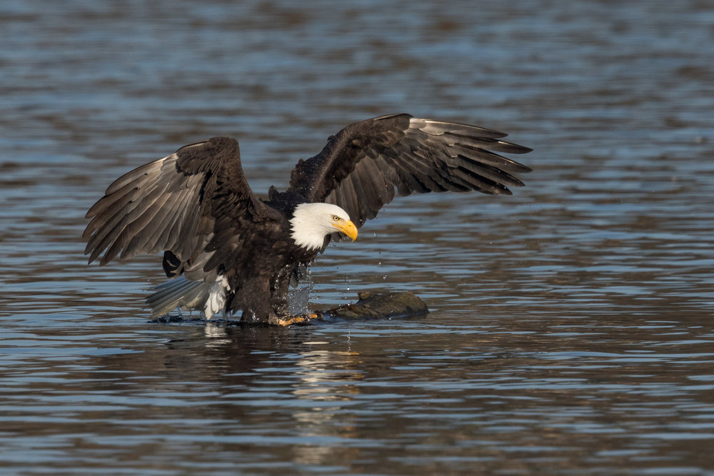 Photo: Bald Eagle, by Tyler Hartje