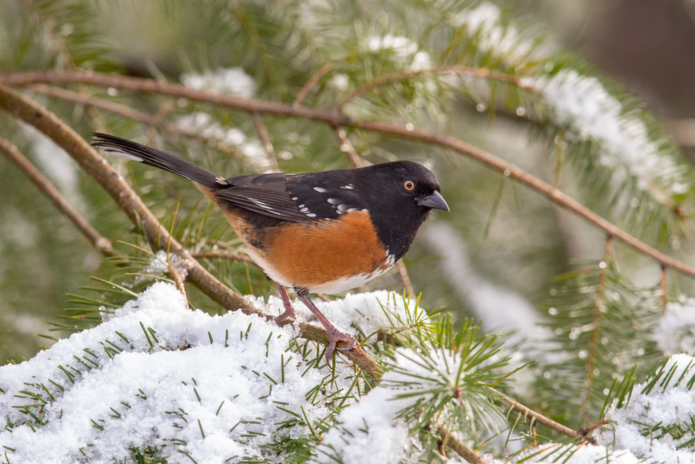 Photo: Spotted Towhee, by Mick Thompson