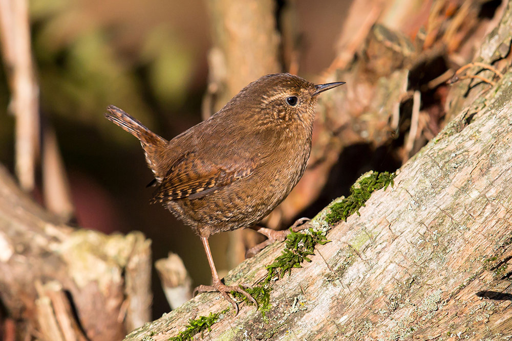 Winter Wren by.jpg