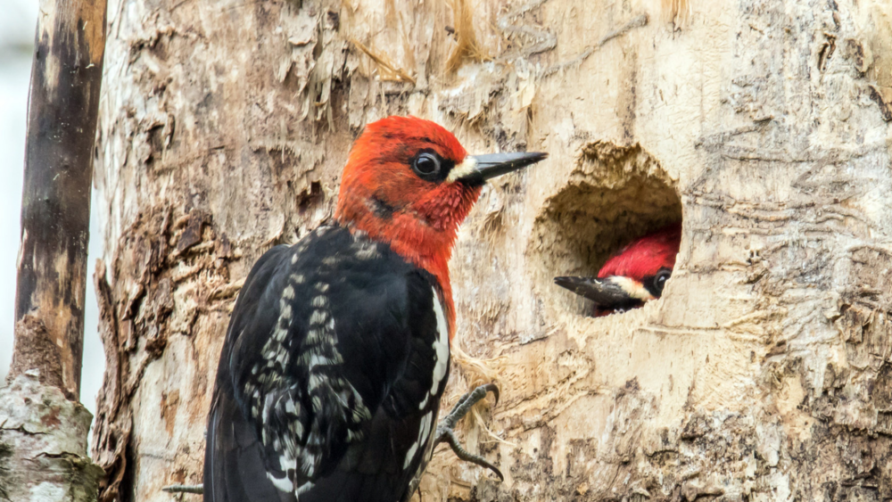 Red-breasted Sapsuckers by Mick Thompson