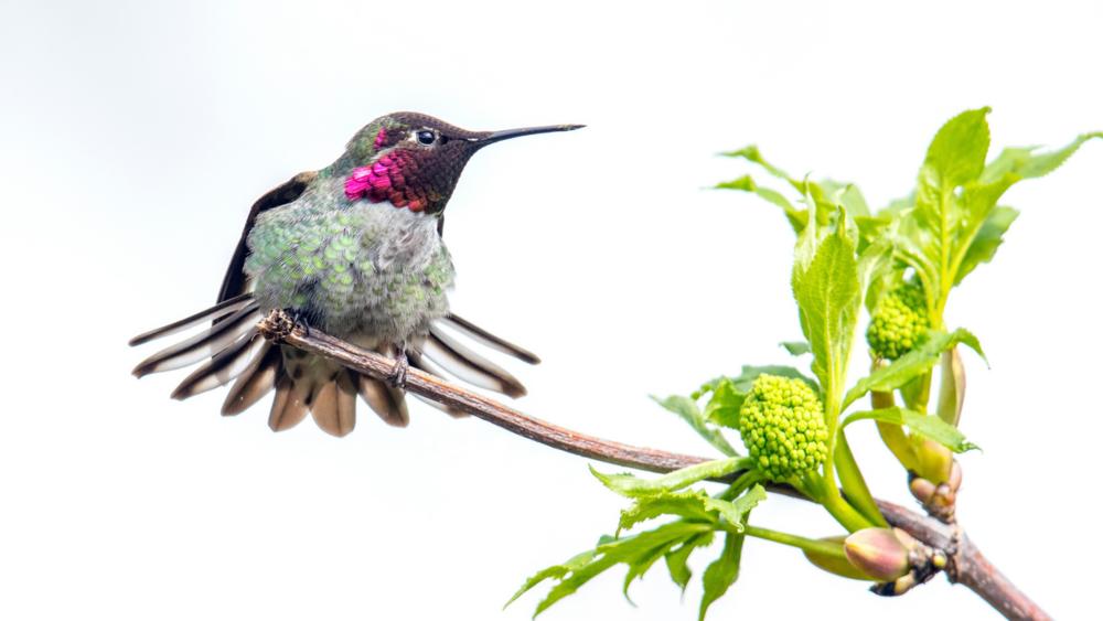 Anna's Hummingbird by Mick Thompson
