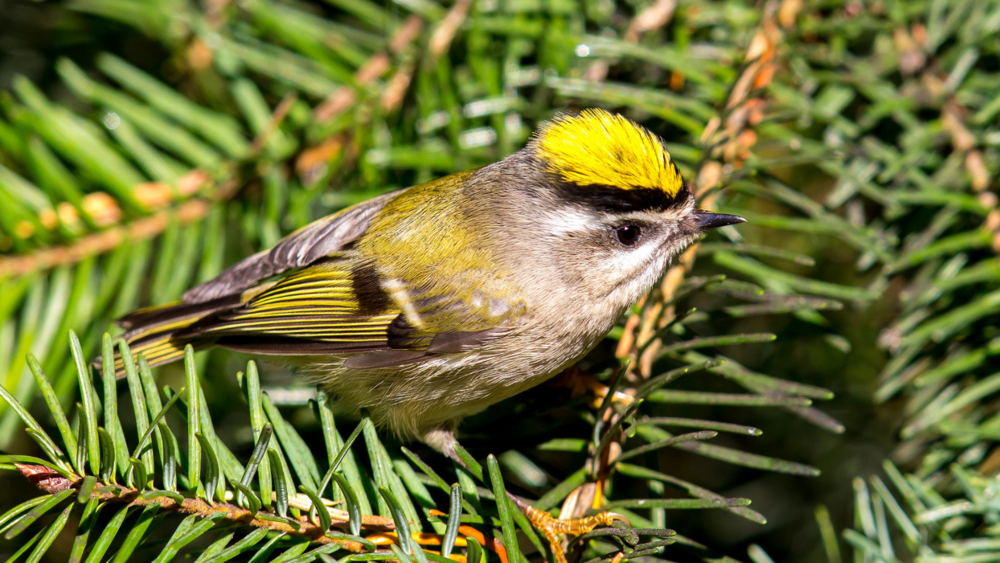 Golden-crowned Kinglet by Mick Thompson