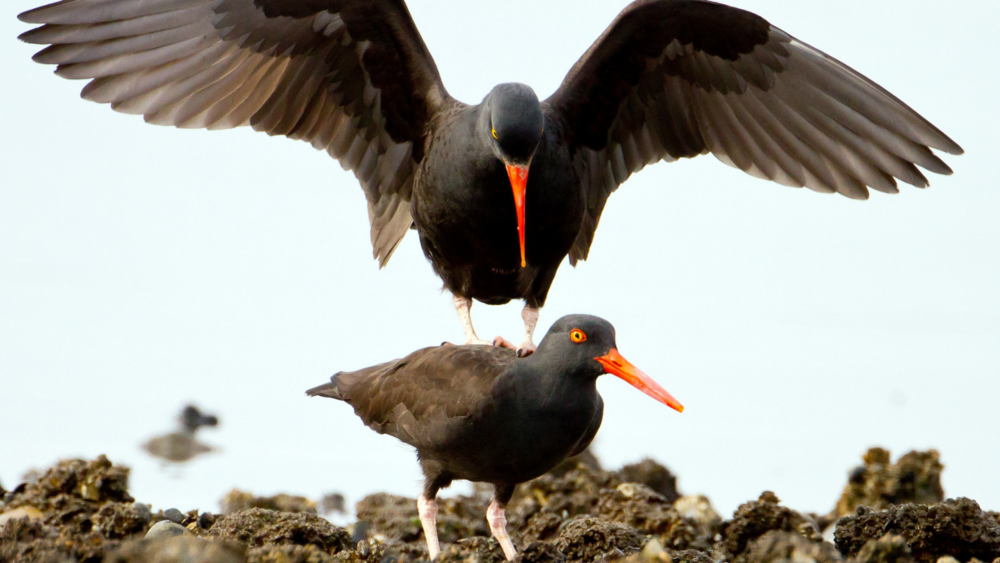 Black Oystercatchers by Mick Thompson