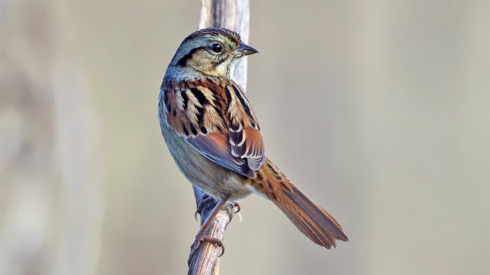 Swamp Sparrow by Tom Murray