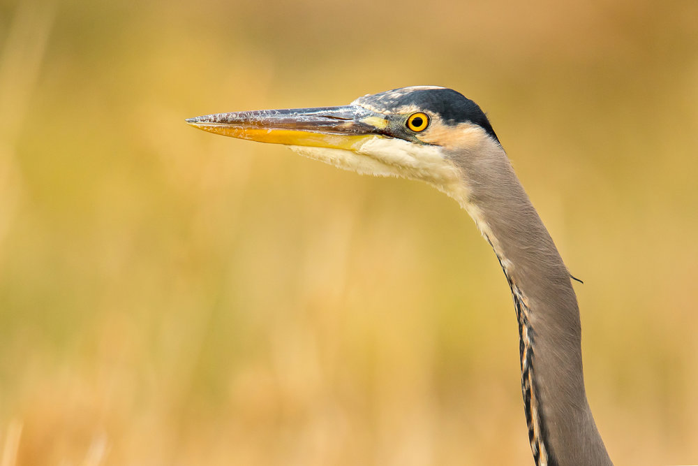 Great Blue Heron by Mick Thompson