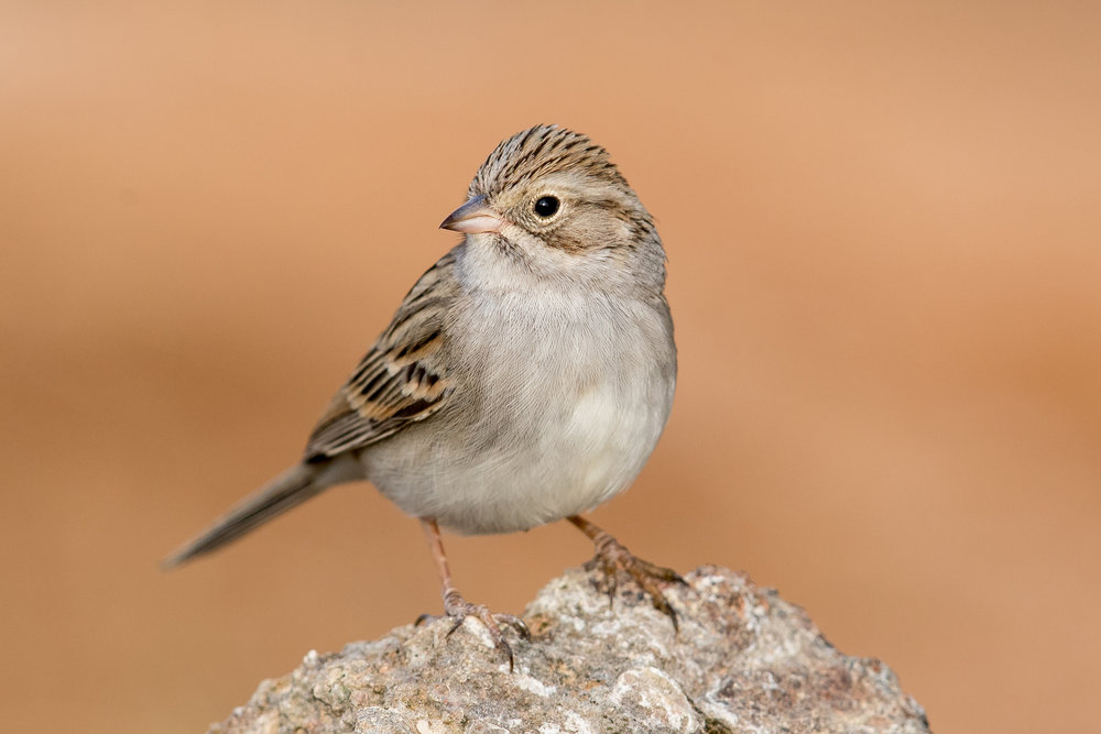 Brewer's Sparrow by Mick Thompson