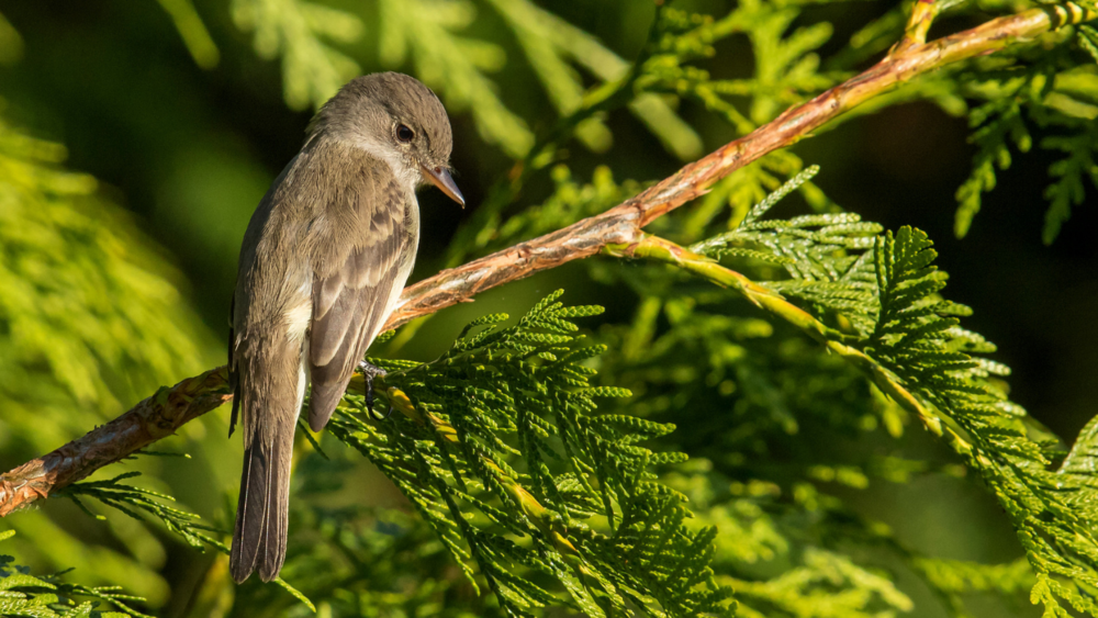 Willow Flycatcher by Mick Thompson