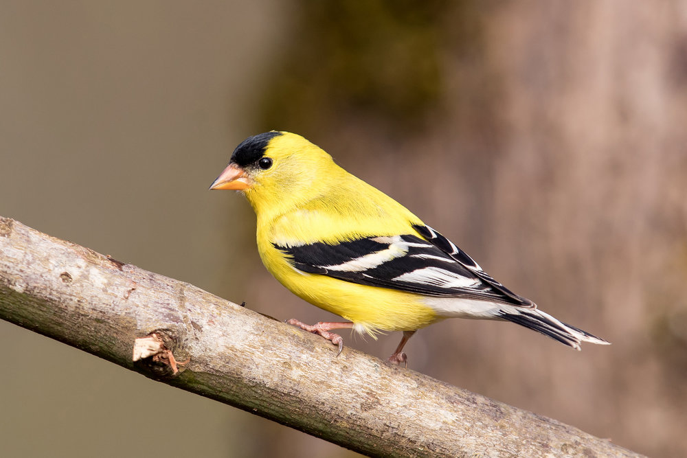 American Goldfinch by Mick Thompson