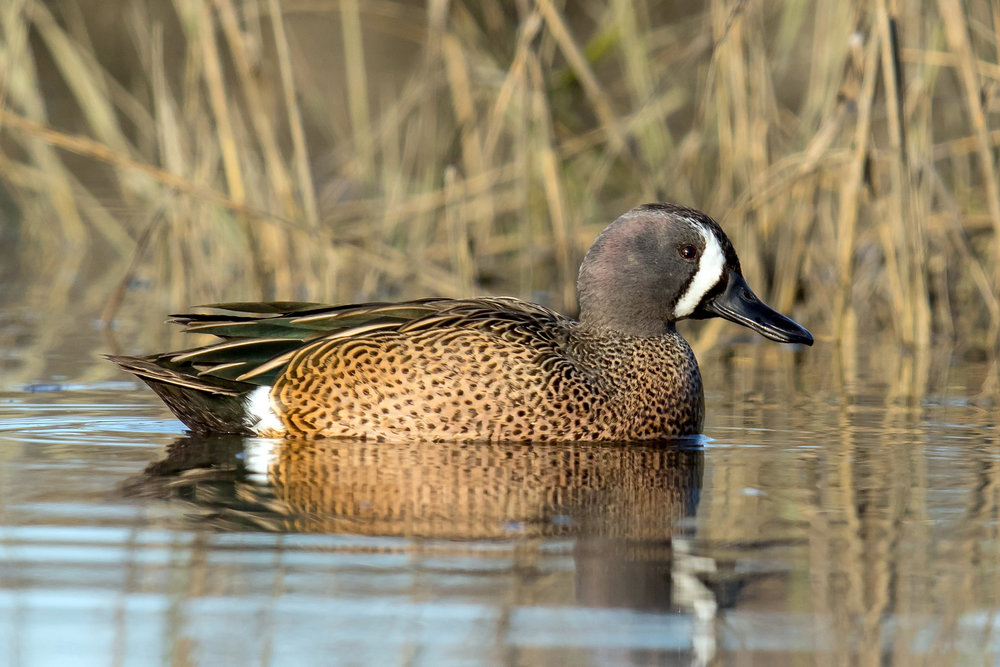 Blue-winged Teal by Mick Thompson