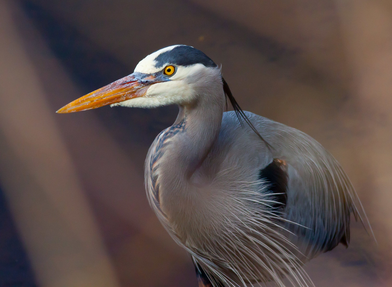 Great Blue Heron — Eastside Audubon Society