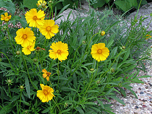 Plants hill country texas master gardeners coreopsis coreopsis lanceleolata use herbaceous perennial in asteraceae family bright yellow flowers mightylinksfo