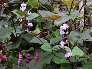 hyacinth_vine.jpg