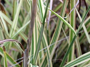 maiden_grass_vari.jpg