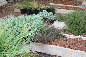 Sage, Lemon Grass, Savory, Thyme (one dying, one living)