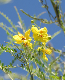 Palo Verde bloom