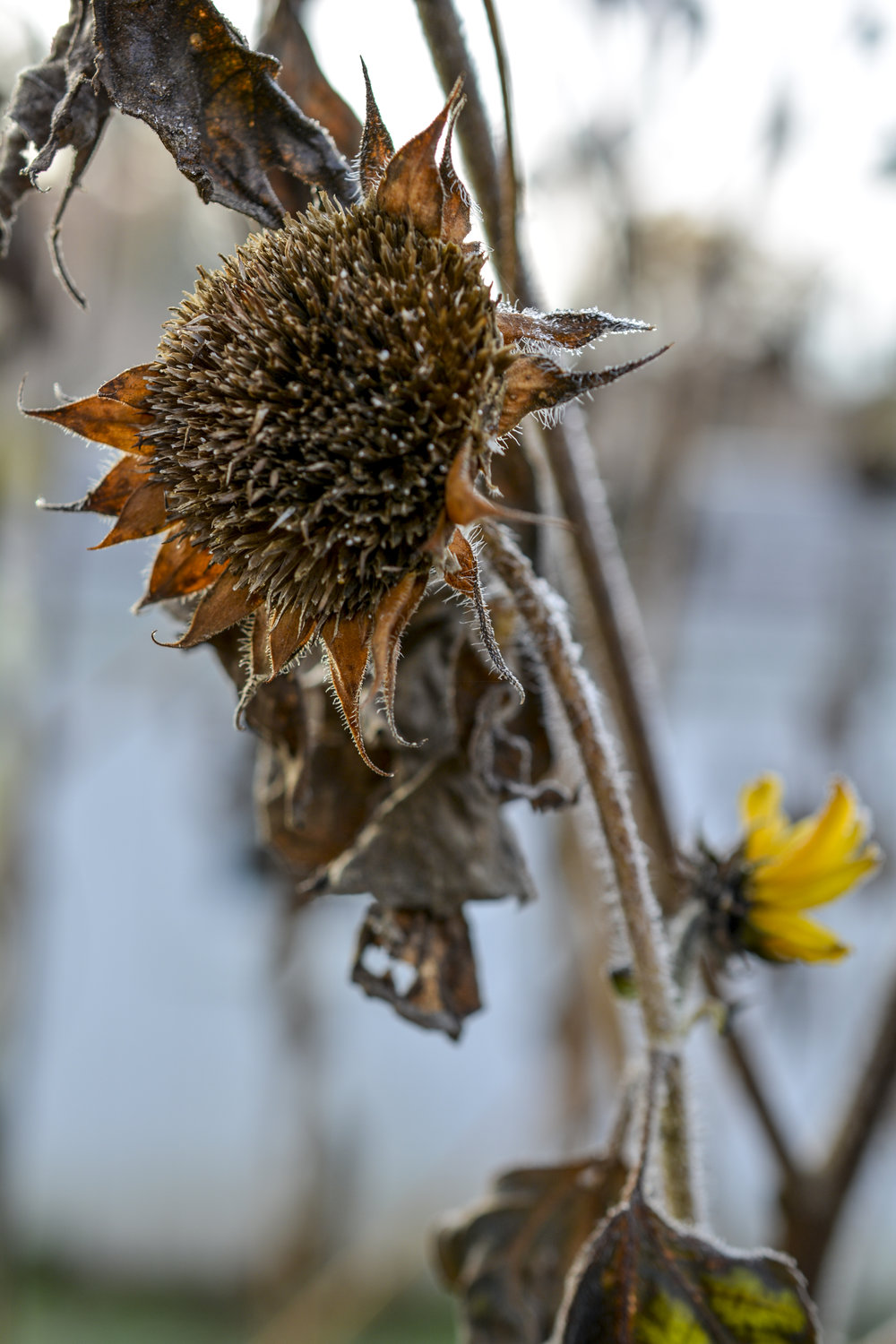 Frosted Sunflower 6526