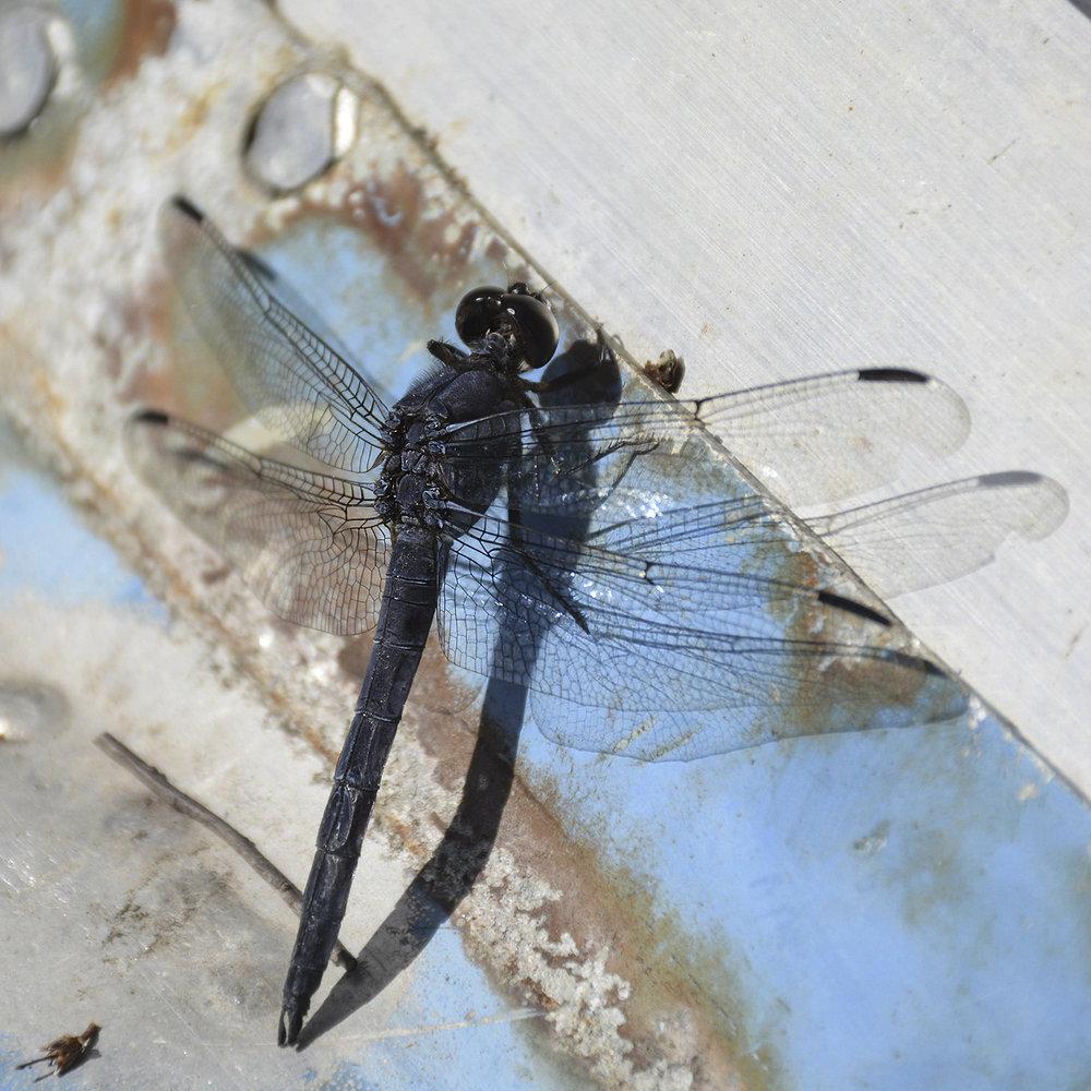Rusty Dragonfly 4917