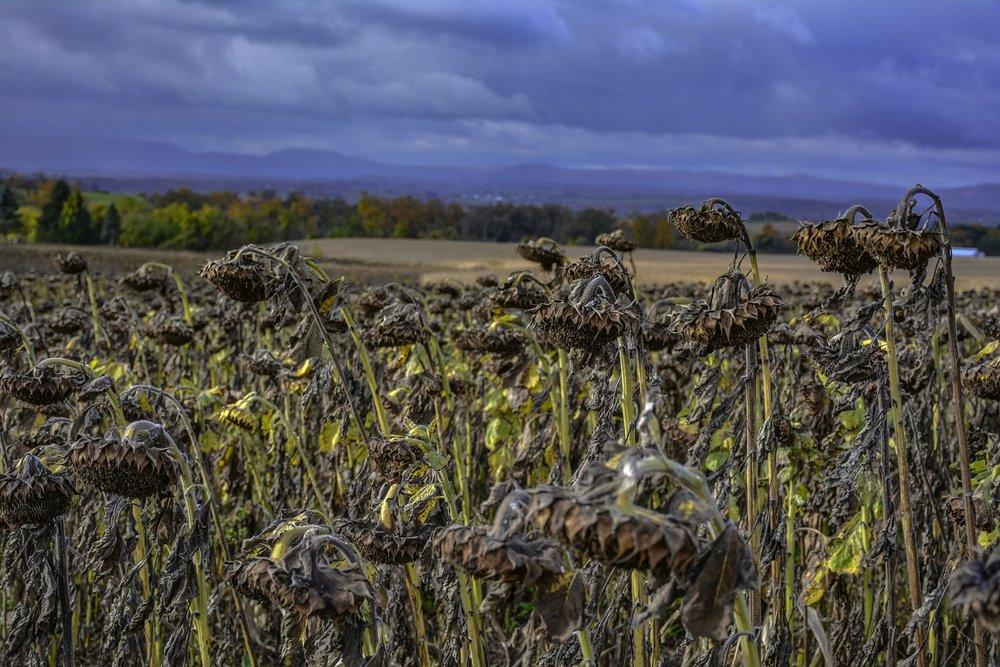 Valley+Sunflowers+6285.jpg