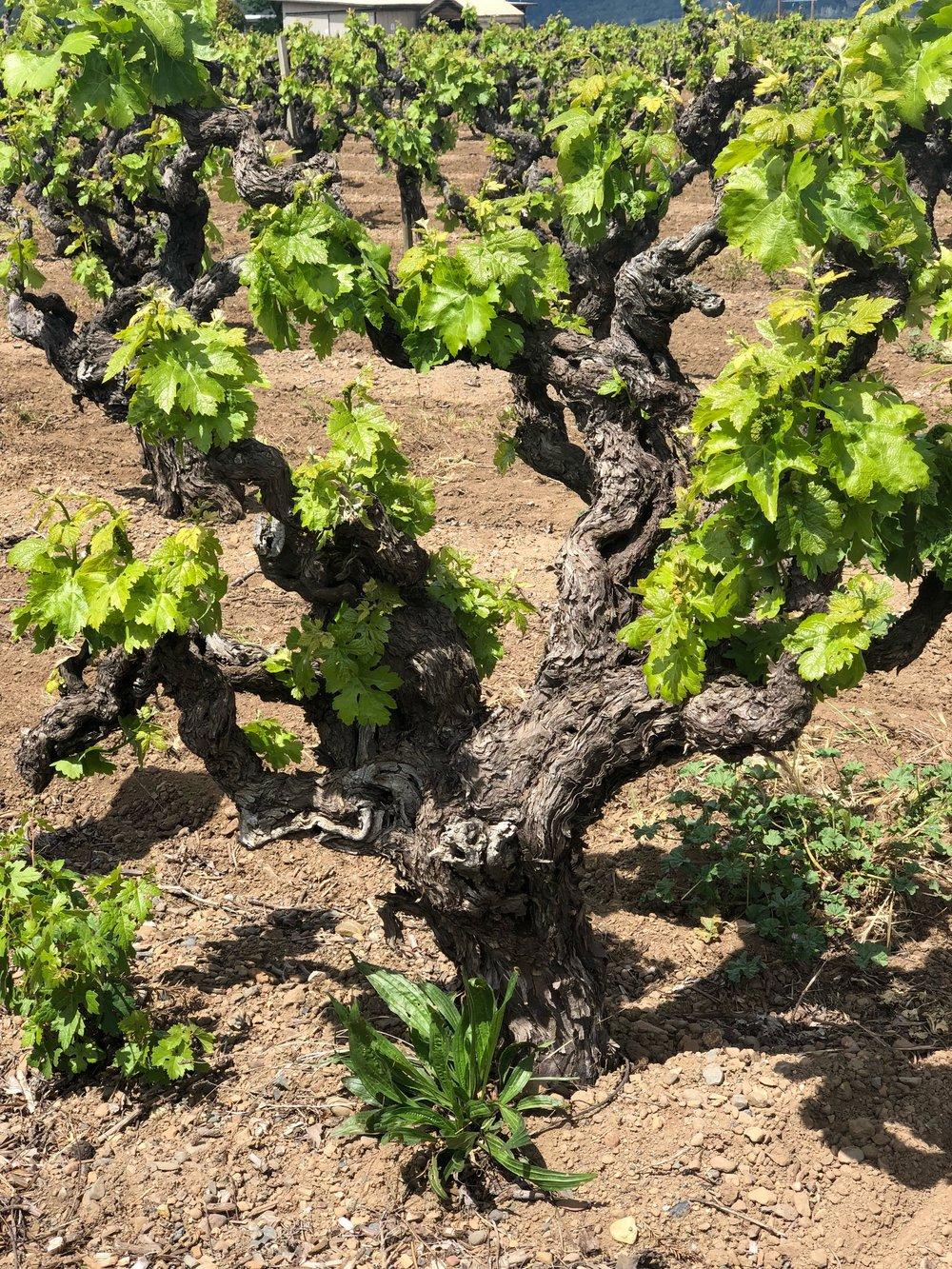 90 Year Old Zin Vines