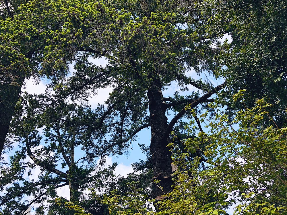 Seghesio Winery Trees