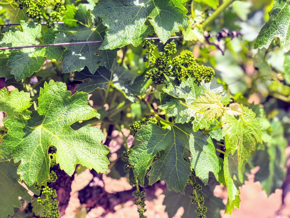 Sonoma County Vineyards