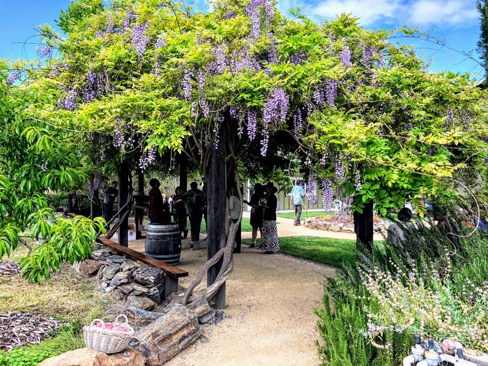 Wisteria at Davero Winery Dry Creek Valley
