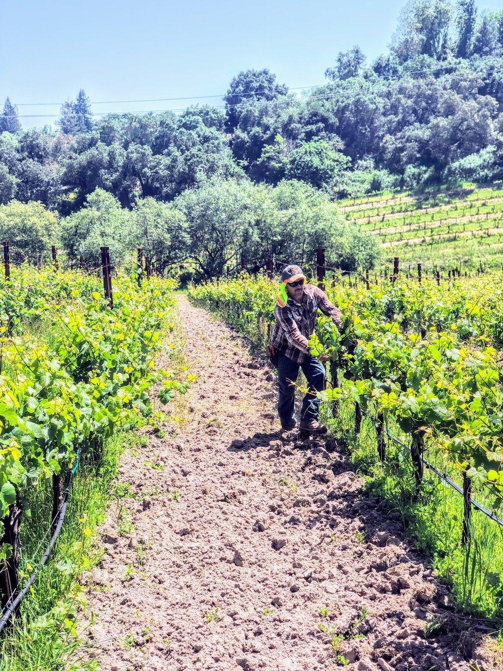 Joseph Swan Forestville Sonoma County Vines