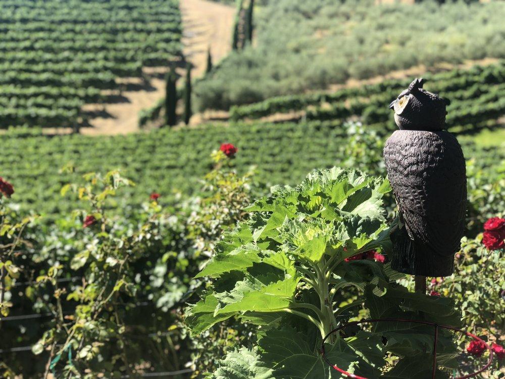 Rafanelli Winery Healdsburg Zinfandel Vineyard