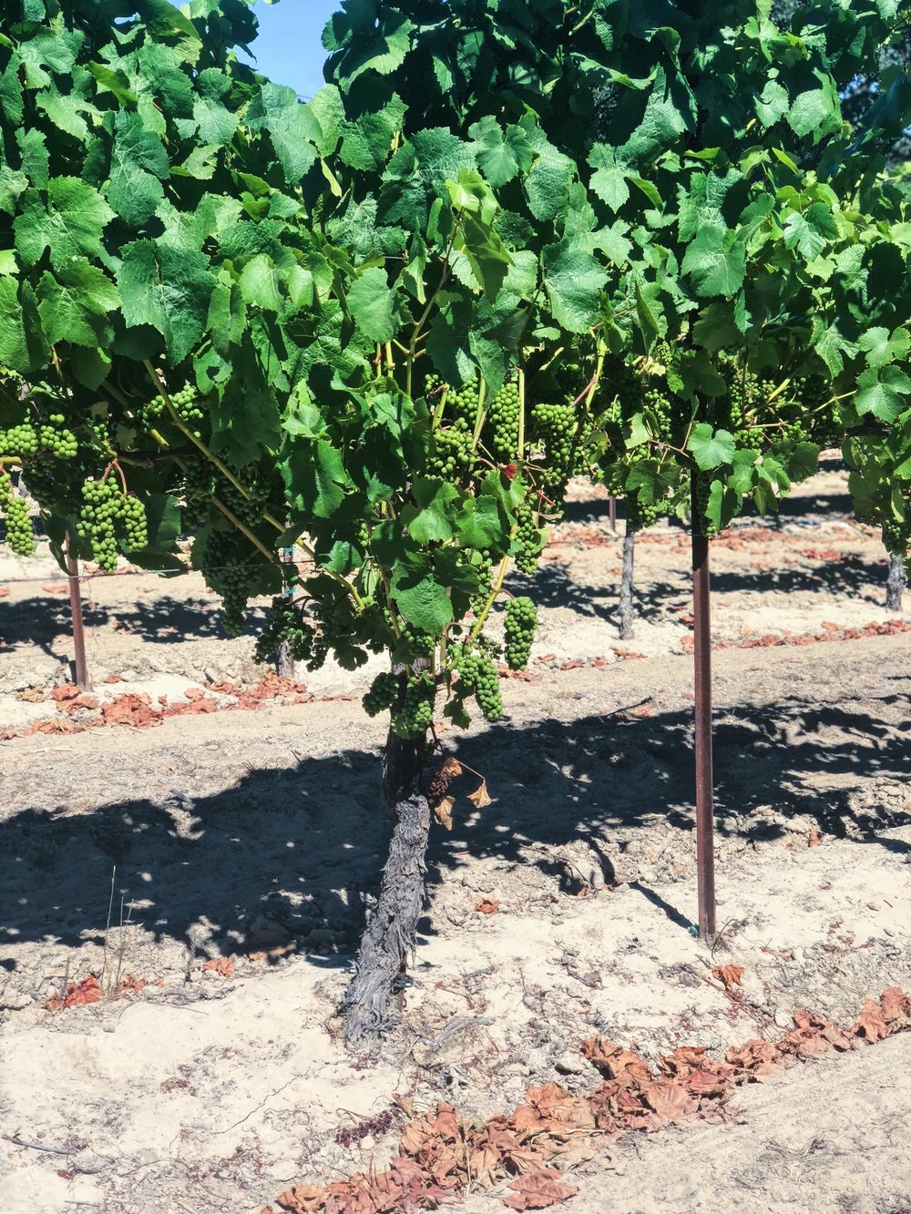 Dry Farmed Pinot Noir
