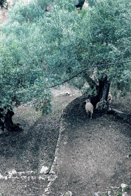 wild_olivetrees.jpg