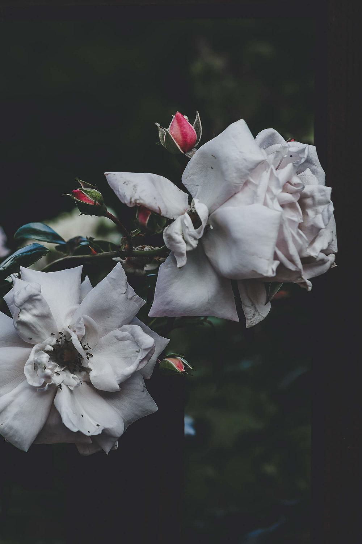 Roses_siforellana.jpg