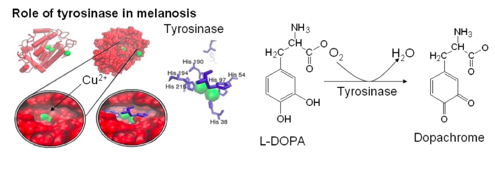 Figure 2.  Role of copper cofactor in enzymatic browning of shrimp caused by tyrosinase (Murphy, 2018; Byszewska & Kanska, 2014).