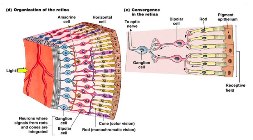 Figure 1. Diagram of the eye and organization of the retina.