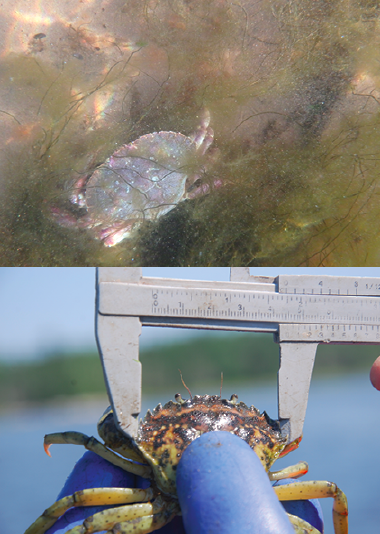Figure 2. Rock crab (top), and green crab (bottom).