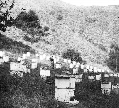 A bee ranch in the Santa Ana Mountains, 1914 (courtesy the Orange Public Library and History Center).