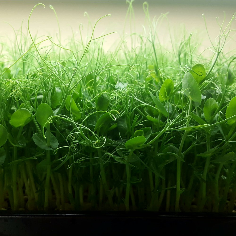 Free Microgreens!CSA Contest - 9/19/18 - Mesa Micro Farm is launching a CSA program and we need your help! Please complete the brief 3 question survey below to enter for a chance to win 1 lb of free Microgreens! Contest ends 10/3/18.Click HERE to complete the survey!