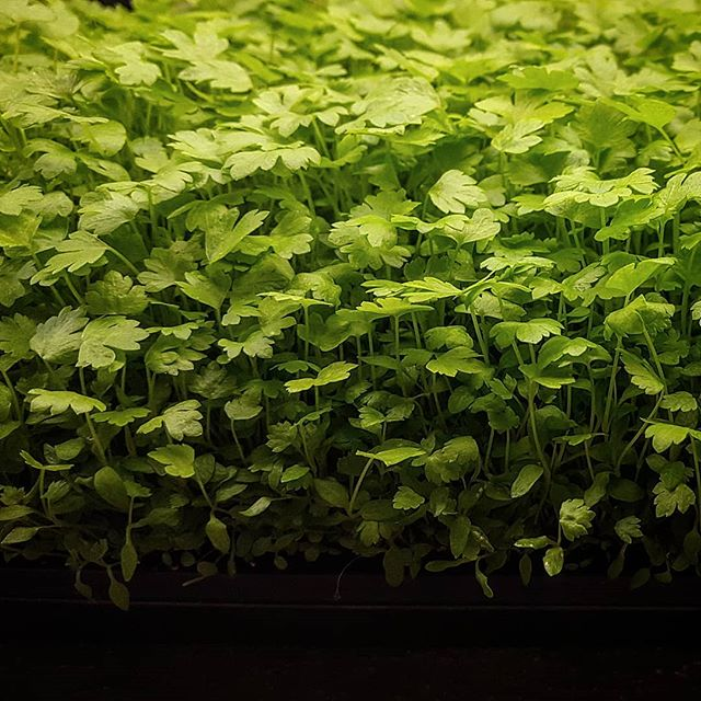 The Micro-Celery is ready! 🌱🌱🌱🌱🌱🌱🌱🌱🌱🌱🌱 Today we make our first harvest and delivery on these celery greens.  Can't wait to see them in the hands of our Chefs! 🌱🌱🌱🌱🌱🌱🌱🌱🌱🌱🌱 #MesaMicroFarm #UrbanFarm #Microfarm #Microgreens #MesaAZ #ScottsdaleAZ #PhoenixAZ #Localfarms #localproduce #FarmToTable #FarmToFork #FarmLife #EatLocal #SustainableAG #supportlocal #FarmersMarket #Celery #Harvestday