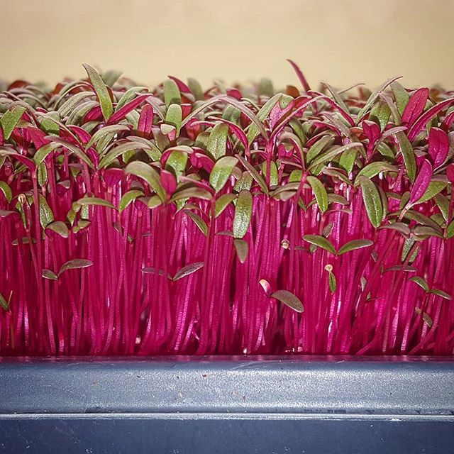 We have some Red Amaranth just in time for Valentine's day! 🌱❤🌱❤🌱❤🌱❤🌱❤🌱 Also available this week, Purple Sango Radish and Purple Kohlrabi.  Let us know if you would like to get festive for Valentine's Dinner! 💘 🌱🌱🌱🌱🌱🌱🌱🌱🌱🌱🌱 #Specials #MesaMicroFarm #UrbanFarm #Microfarm #Microgreens #MesaAZ #ScottsdaleAZ #PhoenixAZ #Localfarms #localproduce #FarmToTable #FarmToFork #FarmLife #EatLocal #SustainableAG #supportlocal #FarmersMarket #Valentines #VDay #valentinesday2019