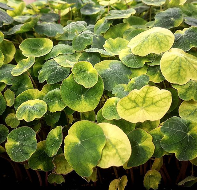 Variegated Nasturtiums! 🌱🌱🌱🌱🌱🌱🌱🌱🌱🌱🌱 We recently ordered a new batch of Nasturtium seeds, and we're pleasantly surprised when they came out  with some extra color!  Harvesting tomorrow for @chefbeckettaz and @beckettstable, get 'em while they're fresh! 🌱🌱🌱🌱🌱🌱🌱🌱🌱🌱🌱 #Mesamicrofarm #MicroFarm #Microgreens #UrbanFarm #MesaAZ #PhoenixAZ #Wholesale #FreshCutDelivery #SupportLocal #FarmToFork #FarmToTable #FarmersMarket #SWFarmers