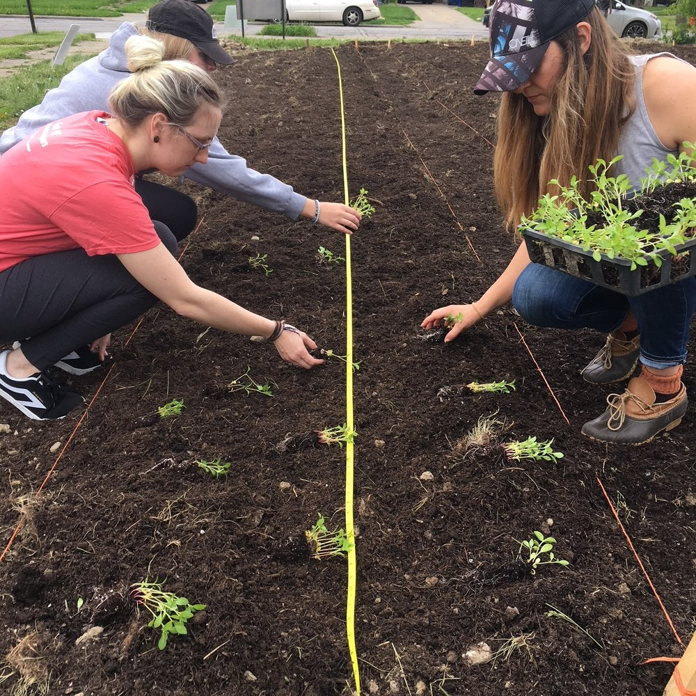 Sarah from Rust Belt Fibershed (on right) and other community members planting indigo.