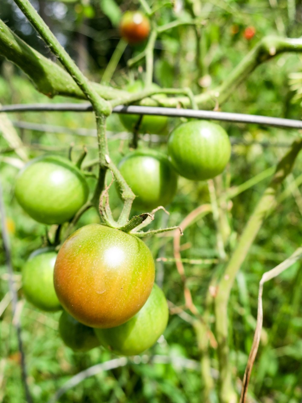 fashion by day tomatoes.JPEG