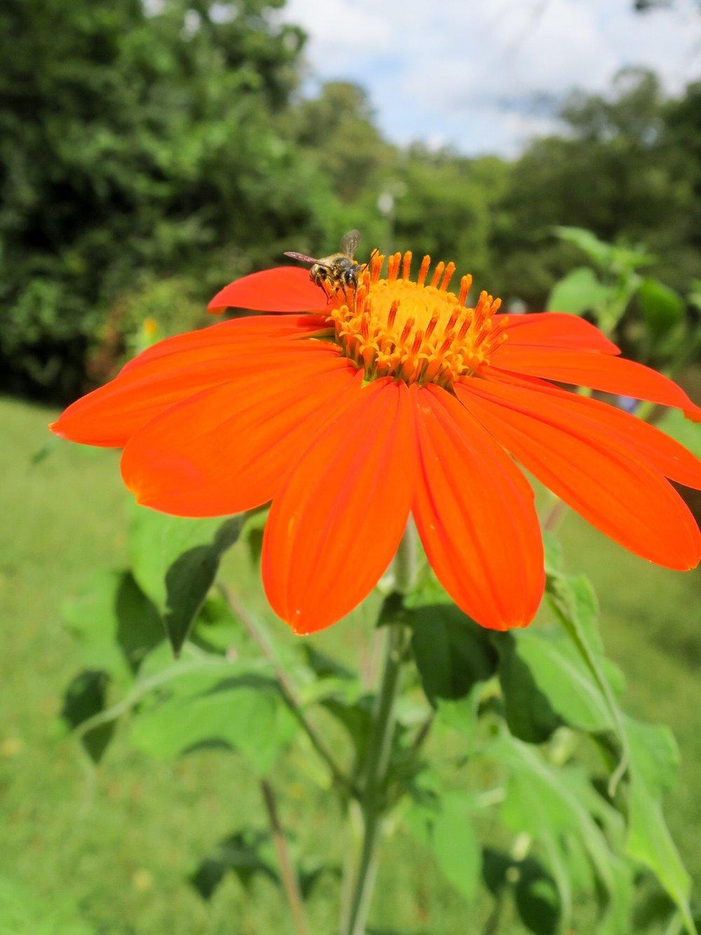 kirby wolf flower with bee.JPEG