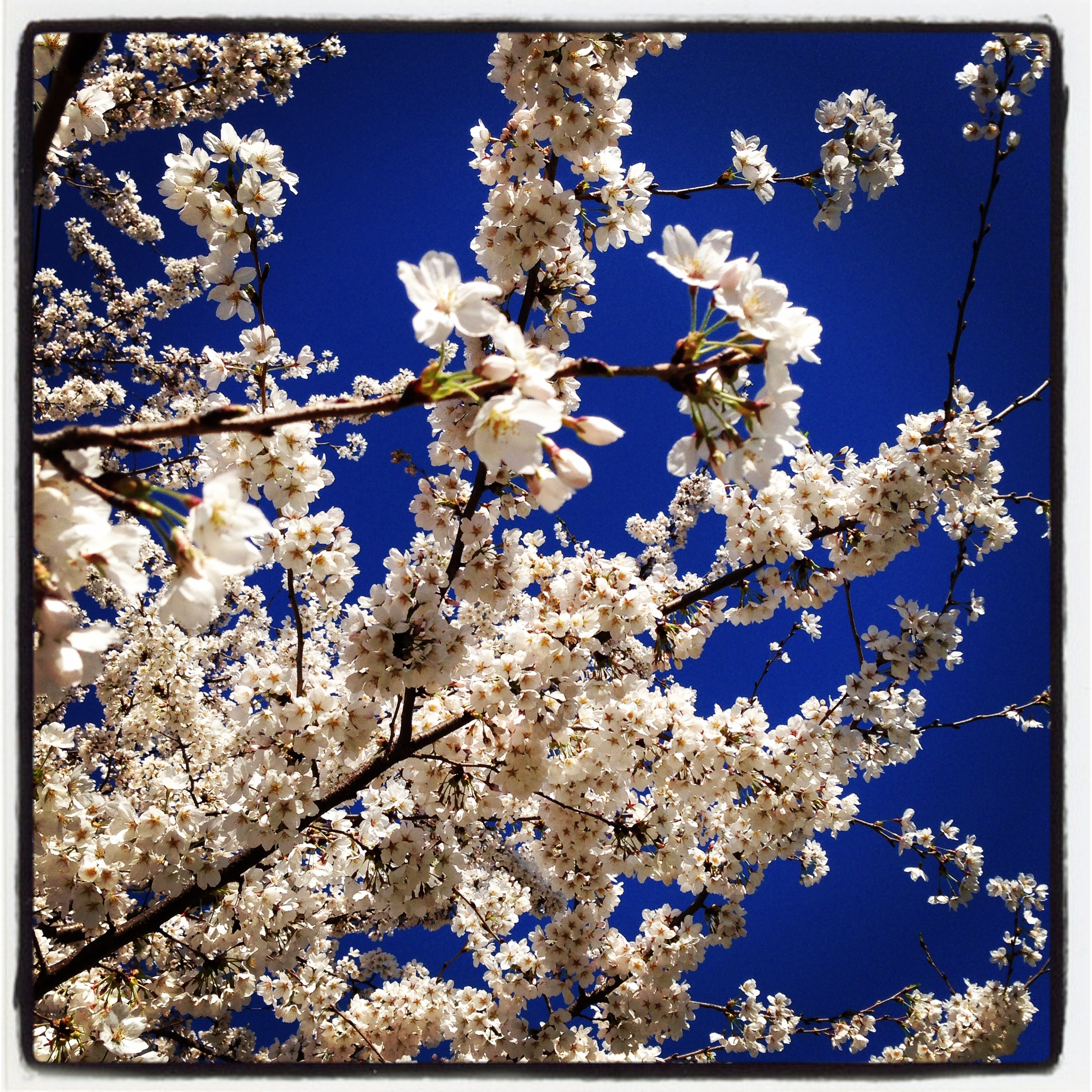 Maplewood Cherry Blossoms 4-17-14