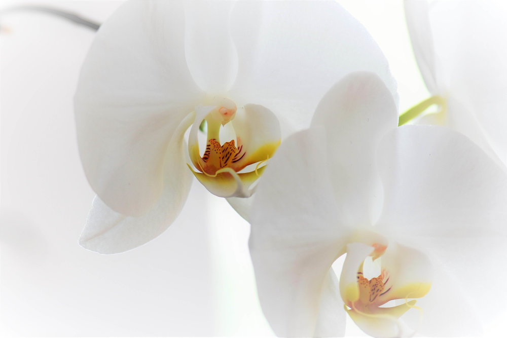 Luxury Orchid Arrangements Essex