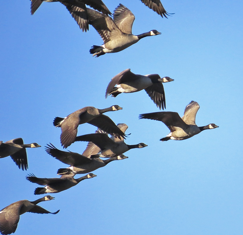 geese fly.jpg