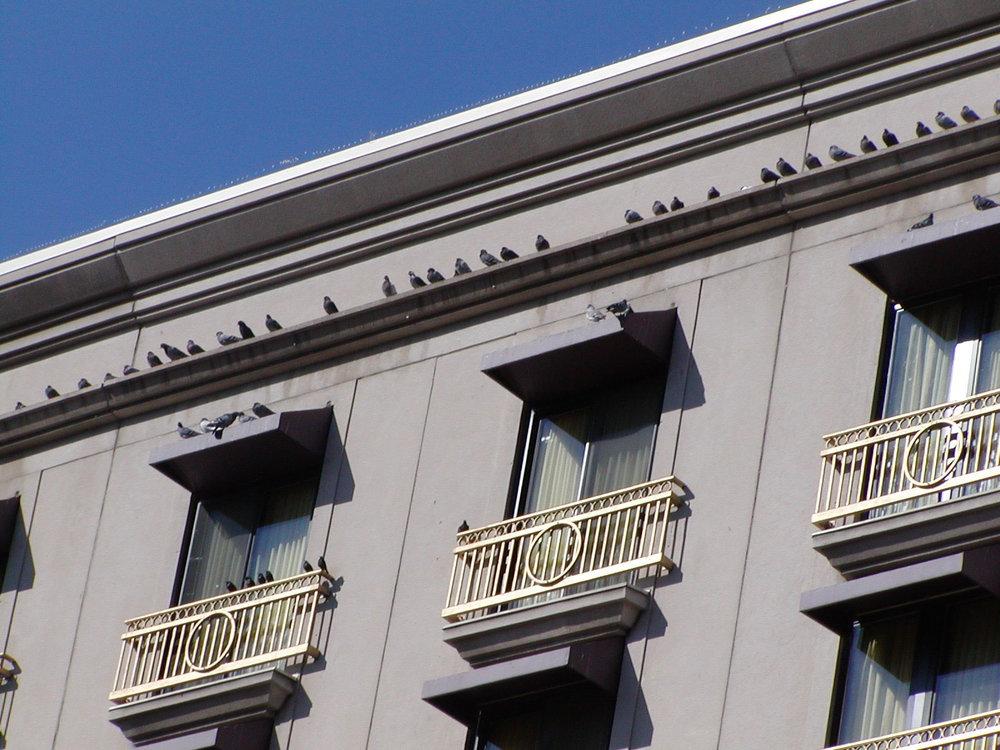 pigeons 1.jpg
