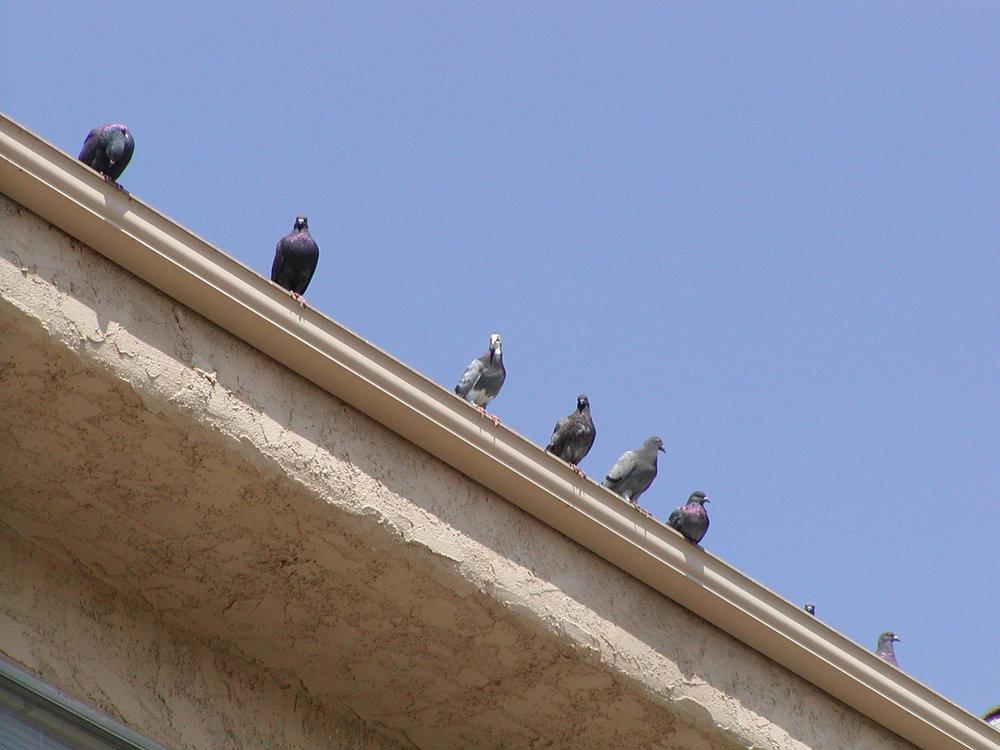 pigeons 2.jpg